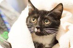 Asheville, NC - Domestic Shorthair. Meet Rhett, a cat for adoption. http://www.adoptapet.com/pet/11360750-asheville-north-carolina-cat