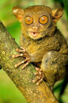 O társio é um dos menores primatas do planeta e pode ser encontrado na Ásia Foto: The Grosby Group