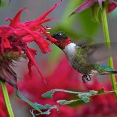 Gardenview Scarlet Bee Balm