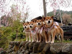 (日本のワンコ可愛すぎ) チーム柴犬 (海外の反応) : 海外のお前ら