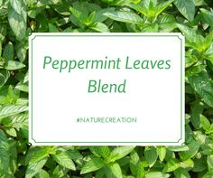 Learn about why we use peppermint leaves in our 100% Natural Herbal Blend! #naturecreation #herbalism