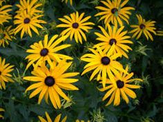 Rudbeckia; add to courtyard planting