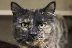 Petango.com – Meet Wren, a 3 years Domestic Longhair / Mix available for adoption in Hagerstown, MD