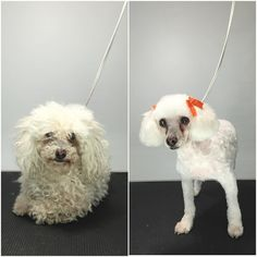 Poodle, Dogs, Instagram Posts, Animals, Animales, Animaux, Poodles, Doggies, Animal