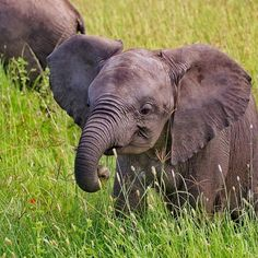 Very Young Elephant Elephant Park, Asian Elephant, Elephant Love, Cute Baby Animals, Animals And Pets, Wild Animals, Beautiful Creatures, Animals Beautiful, Baby Elefante