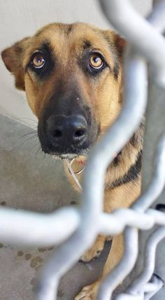 This little beauty is so gorgeous and young but she is terrified and shaking and she needs help now. Please SHARE, a FOSTER or Adopter would save her beautiful life. Thanks! #A4839740 I'm an approx 1 year old female germ shepherd. I am not yet spayed. I have been at the Carson Animal Care Center since June 6, 2015.You can visit me at my temporary home at CRECEIVING..Carson Shelter, Gardena, CA