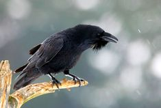 Common raven, showing throat hackles.