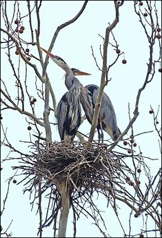 """A GREAT HERON couple """"necking"""" at the herory on Bath Road on Tuesday!"""