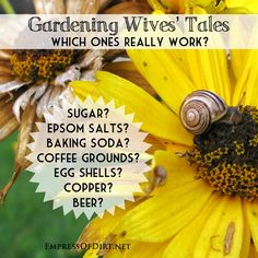 Gardening Wives' Tales: Which Ones Really Work?  Epsom salts? Sugar? Baking soda? Egg shells? Copper pennies? Beer? Coffee grounds?