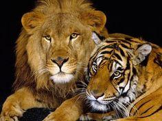 EL Leon y Tigre
