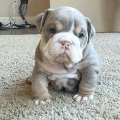 OH MY GOSH 😍😍😍😍😍💓💓💓💓💕💕💕💕💕It's so cute and wrinkly I might die😍😍😍 Tiny Puppies, Bulldog Puppies, Cute Puppies, Cute Dogs, Sweet Dogs, Getting A Puppy, Hündchen Training, Raining Cats And Dogs, Cutest Dog Ever