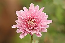 Chrysanthemum - Used in Chinese cuisine for centuries.  A few brightly colored petals can garnish a stir-fry, soup or salad.  The blooms are pungently favored.  Use just a few petals in food preparations.