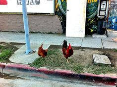 Chickens wander the LA streets.