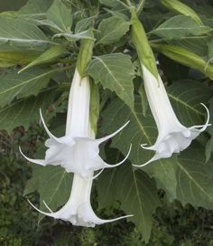 Angel's Trumpet 'Moonlight Glow' (Brugmansia hybrid) Love this one with the sweet bell blooms and serrated edge leaves!