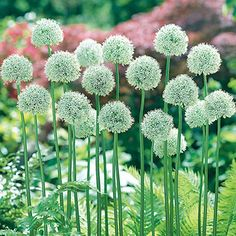 Allium Mount Everest. Snowy white, perfectly round globes the size of softballs on tall, straight stems. This allium has a dramatic presence in the garden.