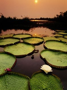 Pantanal Matogrossense National Park #brazil #oneworldtrips  http://www.oneworldtrips.com/.  Located in the southern state of Matto Grosso, this park's dominant feature is the Cuiaba River and surrounding wetlands.  Pantanal is a tropical wetland – the largest one in the world. The famous giant Victoria Regia water lilies are found here. The various hotels, ranches and lodges accommodate the adventurers.Pantanal is the best place to explore the rainforest.