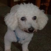 Vanilla - UPDATE is an adoptable Bichon Frise Dog in Hamilton, ON. Foster Mom Report - March 2012 A recent visit to the vet revealed that Vanilla's hemangiosarcoma (cancerous tumour) has returned and . Foster Mom, Foster Care, Puppy Mills, Bichon Frise, Small Breed, Its A Wonderful Life, Pomeranian, Rescue Dogs