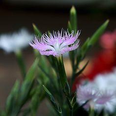 dianthus superbus var. longicalycinus - かわらなでしこ