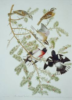 John James Audubon Solid-Faced Canvas Print Wall Art Print entitled Rose-breasted Grosbeak, from Birds of America, engraved by Robert Havell Audubon Prints, Audubon Birds, Birds Of America, John James Audubon, Thing 1, Fine Art Prints, Canvas Prints, Vintage Wall Art, Vintage Birds