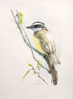 Great kiskadee. Original watercolour. Bird illustration.