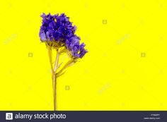 plant, flower, bloom, blossom, flora, dry flowers, purple, yellow background Stock Photo