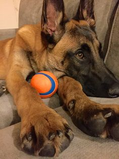 Belgian Malinois Puppy with Ball