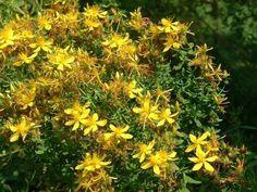 Dziurawiec to powszechnie znana i stosowana roślina lecznicza. Podczas letniego spaceru warto nazbierać pączków, kwiatów i liści do domowej apteczki.