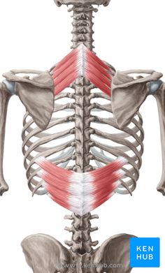 Serratus Posterior Superior and Serratus Posterior Inferior: Learn Your Muscles - Custom Pilates and Yoga Human Muscle Anatomy, Human Anatomy, Muscles Of The Neck, Back Muscles, Anatomy Study, Anatomy Reference, Lumbar Lordosis, Gross Anatomy, Trigger Point Therapy