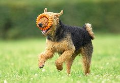 """""""Airedale Terrier"""""""