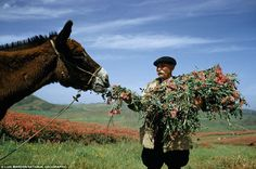 A man feeds donkey sulla flowers and foliage from its own load near Gangi, Sicily, Italy, January 1955