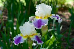 Iris Beacon of Light
