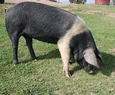 http://www.morriganfarm.com.au/?m=page&i=157&wessex-saddle-back-pigs