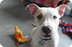 Ridgewood, NY - American Pit Bull Terrier Mix. Meet Liam a Puppy for Adoption.