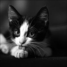 Frm Cats and Kittens I Love Cats, Crazy Cats, Cool Cats, Black And White Kittens, White Cats, Black White, Beautiful Cats, Animals Beautiful, Cute Animals