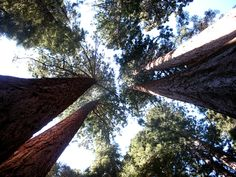 Tall trees, near Circle Meadow: Huckleberry Trail, Sequoia ...