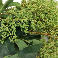 Reminiscent of berries studded over a blanket of nettles and leaves across the forest floor, Bulk Green Privett Berries help create a woodland ambience for your Scabiosa Flowers, Calla Lily Flowers, Cymbidium Orchids, Fake Flowers, August Wedding Flowers, September Flowers, Privet Berries, Ecuadorian Roses, Flower Packaging