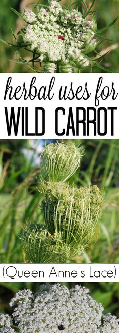 Herbal uses for Queen Anne's Lace (Wild Carrot) #herbs #herbalskincare