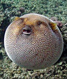 "I think he's saying, ""Helllp me!""  ~ Incredible Guinea fowl Puffer fish"