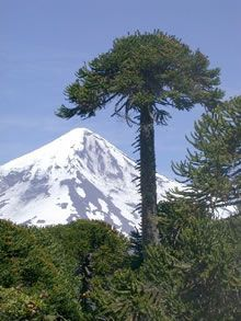 A coniferous evergreen tree (Araucaria araucana), araucaria in Spanish. Chile Tours, Chili, Landscape Photography, Nature Photography, Conifer Trees, Italy Travel Tips, Romantic Vacations, Mount Fuji, Cool Landscapes