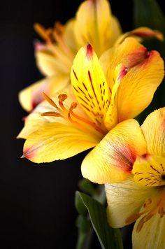 Astromelia amarela
