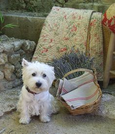 West Highland Terrier: Living well in Provence! Provence, Mans Best Friend, Best Friends, West Highland White Terrier, My French Country Home, Country Charm, Oui Oui, France, White Dogs