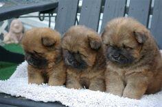 Awww I want a chow puppy sooooo bad!!