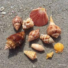 Beachcombing shells at Bowmans Beach Sea Shells, Conch Shells, Still Life Fruit, Captiva Island, Shell Collection, Organic Matter, Ocean Themes, Beach Crafts, Beach Art