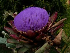 Flor de alcachofra