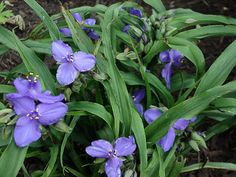 Spiderwort (tradescantia) adds such a bright blue and green. Easy to grow, to divide and share. Will sometomes pop up in unexpected locations but it's not weedy...it's easy to pull up and replant.