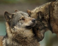 European wolves at Wingham.