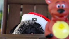 Pugs love Christmas just as much as their owners. Look at these cute Pugs having Christmas decorations around their necks, on their head and on their bodies. This is a great compilation of Christmas decorated Pug dogs in which you can see different Christmas fashion accessories � starting from Christmas glasses and ending with Christmas bulbs!