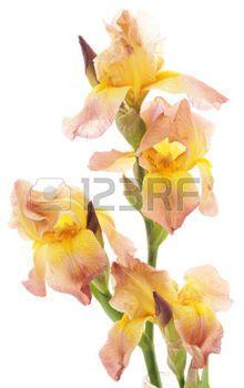 yellow iris flower: Yellow iris flower isolated on white background