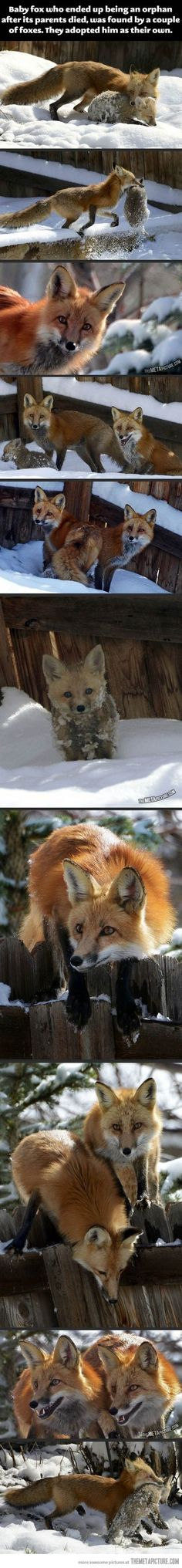 Funny pictures about Adopted baby fox. Oh, and cool pics about Adopted baby fox. Also, Adopted baby fox. Animals And Pets, Baby Animals, Funny Animals, Cute Animals, Beautiful Creatures, Animals Beautiful, Fuchs Baby, Malamute, Photo Animaliere
