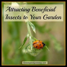 Attracting Beneficial Insects to Your Garden @learningandyearning